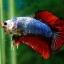 (ขายแล้วครับ)ปลากัดครีบสั้น-Halfmoon Plakats Fancy Dragon thumbnail 2