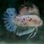 """(ขายแล้วครับ)""""คัดเกรด""""ปลากัดครีบสั้น-Halfmoon Plakats FAncy Koi ลายจุดสวยงาม thumbnail 7"""