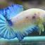 คัดเกรดปลากัดครีบสั้น-Halfmoon Plakad Fancy Marble Hi Quality Grade thumbnail 3