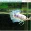 """(ขายแล้วครับ)""""คัดเกรด""""ปลากัดครีบสั้น-Halfmoon Plakats Fancy Marble thumbnail 2"""