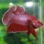 (ขายแล้วครับ)ปลากัดครีบสั้น - Halfmoon Plakats RED thumbnail 1