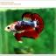 คัดเกรดปลากัดครีบสั้น-Hi- Quality Halfmoon Plakat Fancy Red Black Eye Quality Grade thumbnail 2