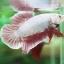 """""""คัดเกรด""""ปลากัดครีบสั้น-Halfmoon Plakats PinkDragon thumbnail 7"""