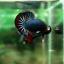 """(ขายแล้วครับ)""""คัดเกรด""""ปลากัดครีบสั้น-Halfmoon Plakats Fancy Dragon Green Red thumbnail 5"""