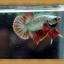 ปลากัดครีบสั้น - Halfmoon Plakats thumbnail 5