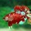 พิเศษโปรโมชั่นปลากัดคัดเกรดครีบสั้น - Halfmoon Plakad Fancy Dragon Quality Grade thumbnail 1