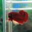 """(ขายแล้วครับ)""""คัดเกรด""""ปลากัดครีบสั้น-Halfmoon Plakats Super Red thumbnail 3"""