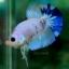 """""""คัดเกรด""""ปลากัดครีบสั้น-Halfmoon Plakats Fancy thumbnail 3"""