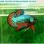 """(ขายแล้วครับ)""""คัดเกรดประกวด""""ปลากัดครีบสั้น-Over Halfmoon Plakats Fancy Dragon Green Orange Quality Grade thumbnail 5"""