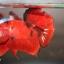 ปลากัดคัดเกรดครีบสั้น - Halfmoon Plakad Fancy Red Devil Premium Quality Grade AAA+ thumbnail 3