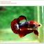 คัดเกรดปลากัดครีบสั้น-Hi- Quality Halfmoon Plakat Fancy Red Black Eye Quality Grade thumbnail 1