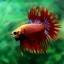 (ขายแล้วครับ)ปลากัดครีบยาวหางมงกุฎ-Crowntails Red thumbnail 10