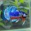 คัดเกรดปลากัดครีบสั้น-Halfmoon Plakat Fancy Dragon Blue Orange thumbnail 3