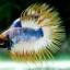 (ขายแล้วครับ)ปลากัดครีบยาวหางมงกุฎ-Crowntails01 thumbnail 5