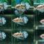 """(ขายแล้วครับ)""""คัดเกรด""""ปลากัดครีบสั้น-Halfmoon Plakats Fancy Koi thumbnail 2"""