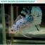 """(ขายแล้ว)""""คัดเกรด""""ปลากัดครีบสั้น-Halfmoon Plakats Fancy Dragon Marble thumbnail 5"""