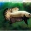 (ขายแล้วครับ)+แถมตัวเมีย+ปลากัดครีบสั้น-Halfmoon Plakat Black Dragon Copper thumbnail 1