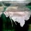"""(ขายแล้วครับ)""""คัดเกรด""""ปลากัดครีบสั้น-Halfmoon Plakats White Platinum thumbnail 6"""