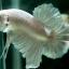 """(ขายแล้วครับ)""""คัดเกรด""""ปลากัดครีบสั้น-Halfmoon Plakats White Platinum thumbnail 4"""