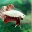 """(ขายแล้วครับ)""""คัดเกรด""""ปลากัดครีบสั้น-Halfmoon Plakats Red Dragon thumbnail 9"""