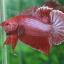(ขายแล้วครับ)ปลากัดครีบสั้น - Halfmoon Plakats RED thumbnail 3