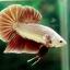 """(ขายแล้วครับ)""""คัดเกรด""""ปลากัดครีบสั้น-Halfmoon Plakats Red Gold Dragon thumbnail 8"""
