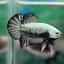 """ตอนรับเทศกาล สงกรานต์ """"คัดเกรด""""ปลากัดครีบสั้น-Halfmoon Plakats Black Dragon thumbnail 5"""