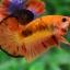 ปลากัดคัดเกรดครีบสั้น - Halfmoon Plakad Fancy Orange Premium Quality Grade AAA+ thumbnail 1