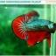"""(ขายแล้วครับ)""""คัดเกรดประกวด""""ปลากัดครีบสั้น-Over Halfmoon Plakats Fancy Dragon Green Red Quality Grade thumbnail 7"""
