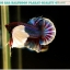 """(ขายแล้วครับ)""""คัดเกรดประกวด""""ปลากัดครีบสั้นหูช้าง-Halfmoon Plakats Big Ear Lavender Quality Grade thumbnail 3"""
