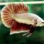 """(ขายแล้วครับ)""""คัดเกรด""""ปลากัดครีบสั้น-Halfmoon Plakats Red Gold Dragon thumbnail 7"""