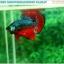 """(ขายแล้วครับ)""""คัดเกรดประกวด""""ปลากัดครีบสั้น-Over Halfmoon Plakats Fancy Dragon Green Red Quality Grade thumbnail 5"""