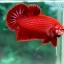 (ขายแล้วครับ)ปลากัดครีบสั้น - Halfmoon Plakats SUPER RED thumbnail 6