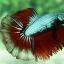"""""""คัดเกรด""""ปลากัดครีบยาว-Halfmoon02 thumbnail 3"""
