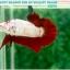 """(ขายแล้วครับ)มาแล้วสวยแปลก""""คัดเกรด""""ปลากัดครีบสั้น-Halfmoon Plakats Fancy Red Marble BF thumbnail 2"""