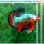 """(ขายแล้วครับ)""""คัดเกรดประกวด""""ปลากัดครีบสั้น-Over Halfmoon Plakats Fancy Dragon Green Orange Monster Quality Grade thumbnail 11"""