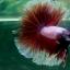"""(ขายแล้วครับ)""""คัดเกรด""""ปลากัดครีบยาว-Halfmoon BF Lavender Fancy thumbnail 8"""