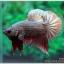 คัดเกรดปลากัดครีบสั้น-Halfmoon Plakad Fancy Copper thumbnail 1