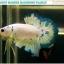 """""""คัดเกรด""""ปลากัดครีบสั้น-Halfmoon Plakats Fancy Marble thumbnail 8"""