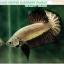 (ขายแล้วครับ)+แถมตัวเมีย+ปลากัดครีบสั้น-Halfmoon Plakat Black Dragon Copper thumbnail 2