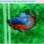 """(ขายแล้วครับ)""""คัดเกรดประกวด""""ปลากัดครีบสั้น-Over Halfmoon Plakats Fancy Dragon Blue Orange Quality Grade thumbnail 4"""