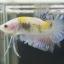 """(ขายแล้วครับ)""""คัดเกรด""""ปลากัดครีบสั้น-Halfmoon Plakats Fancy Yellow Koi thumbnail 2"""