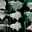 """(ขายแล้วครับ)""""คัดเกรด""""ปลากัดครีบสั้น-Halfmoon Plakats White Platinum thumbnail 2"""