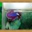 ปลากัดครีบสั้น-Fancy Halfmoon Plakats thumbnail 2