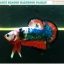 """(ขายแล้วครับ)""""คัดเกรด""""ปลากัดครีบสั้น-Halfmoon Plakats Fancy Dragon thumbnail 6"""