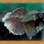 ปลากัดครีบยาว - Halfmoon thumbnail 2