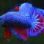 คัดเกรดปลากัดครีบสั้น-Halfmoon Plakad Fancy Dragon ฺBlue Red Qaulity Grade thumbnail 4