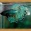 Halfmoons ปลากัดครีบยาว หางพระจันทร์ครึ่งดวง thumbnail 3