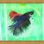 (ขายแล้วครับ)ปลากัดครีบยาว - Fancy Halfmoon thumbnail 4