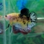 """(ขายแล้วครับ)""""Grade A""""ปลากัดครีบสั้น-Halfmoon Plakats Super Fancy Koi Grade A thumbnail 5"""